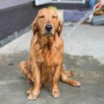 chien-shampoing-chien-fait-maison